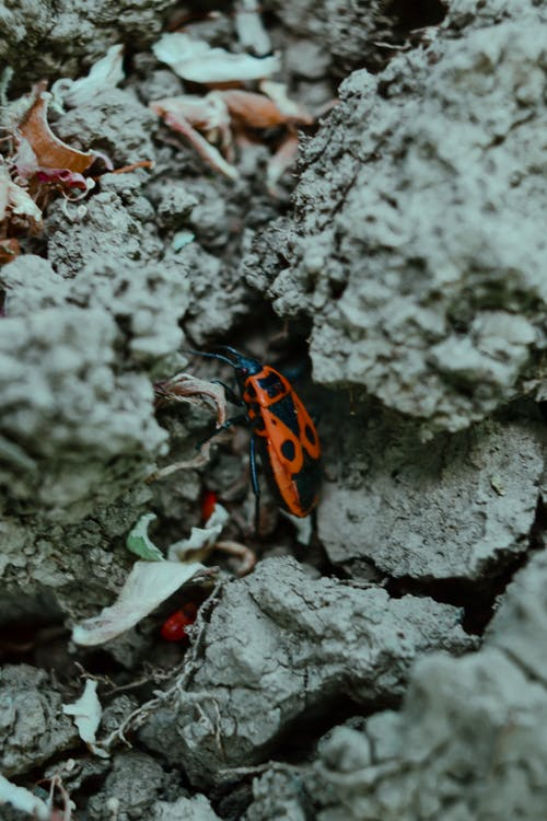 Pyrrhocoris apterus among big gray pieces of dry soil and yellow leaves in daytime on blurred background