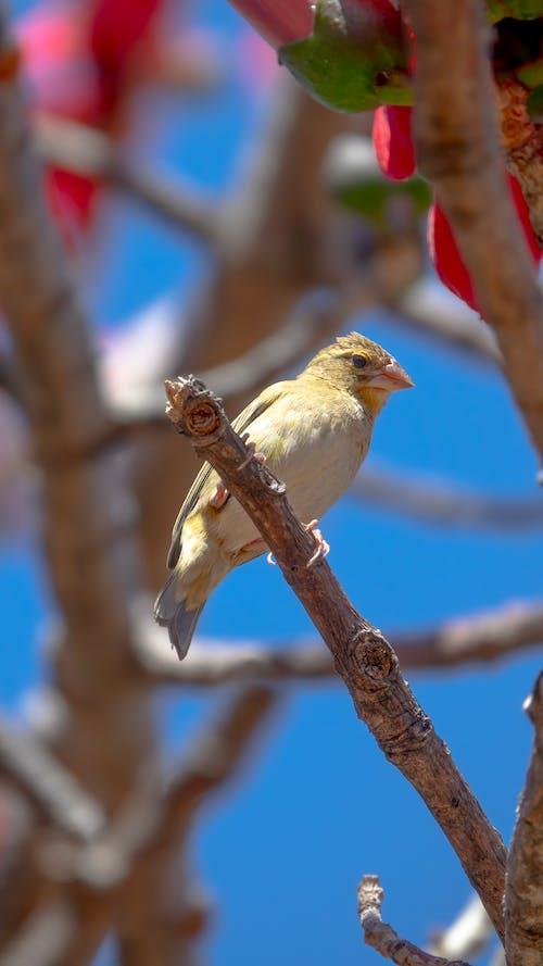 Immagine gratuita di becco, fauna selvatica, fringuello