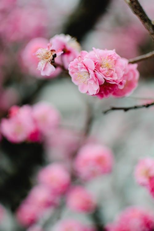 Imagine de stoc gratuită din blur background, floare de prun, floră