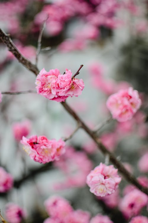 Fully Bloomed Plum Blossoms