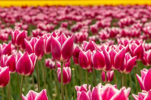 Close-Up View of Pink Tulips