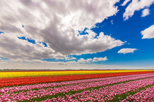 A Blooming Flower Field under White Clouds and Blue Sky