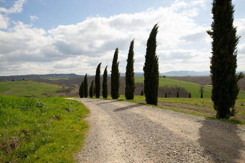 Cypress Trees by the Country Road