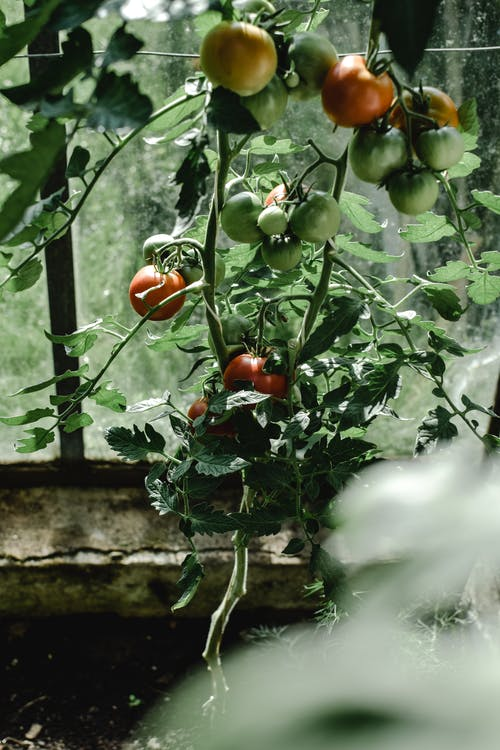 Close-Up Photo of Unripe Tomatoes
