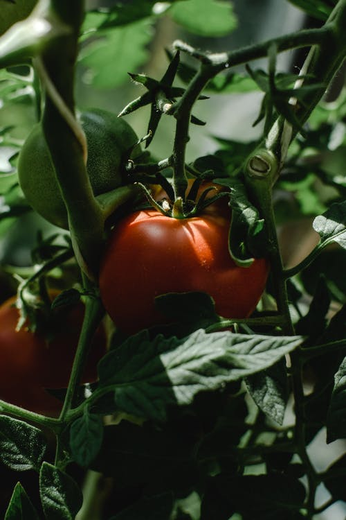 Red Tomato on Green Leaves