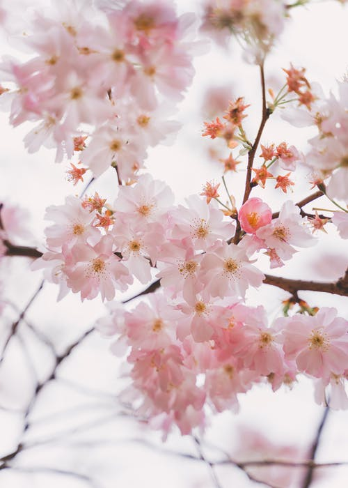 Gentle blooming branches of sakura tree