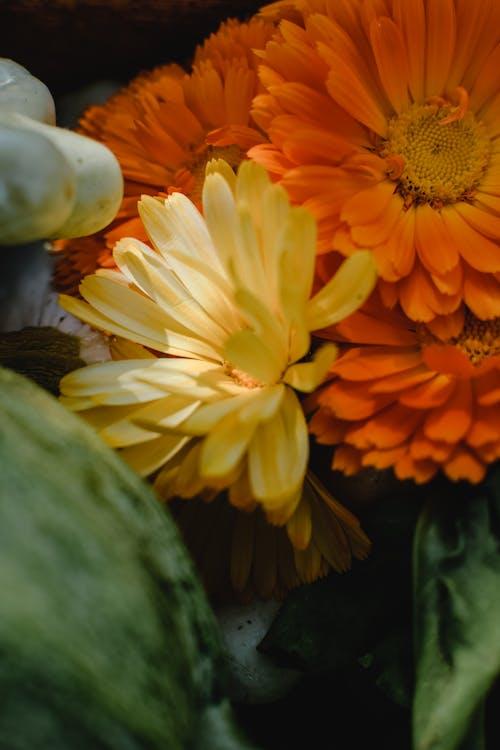 Gratis lagerfoto af blomster, blomstrende, calendula