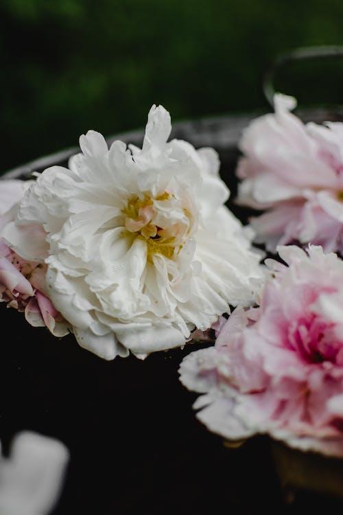 Yakın çekim Fotoğrafında Beyaz Ve Pembe çiçek