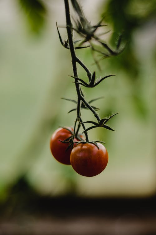 Red Tomato on Black Stem