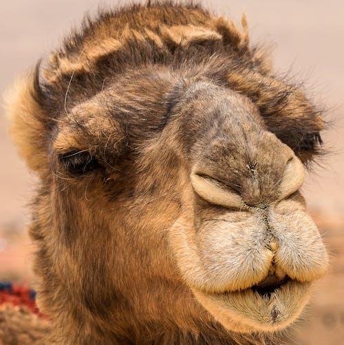 Close-Up Shot of Camel Face