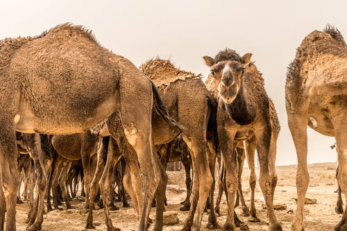 Close-Up Shot of Camels on Brown Field