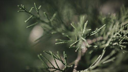 Free stock photo of bokeh, green, pine, trees