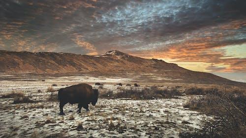Brown Bison on Green Grass Field Under Cloudy Sky