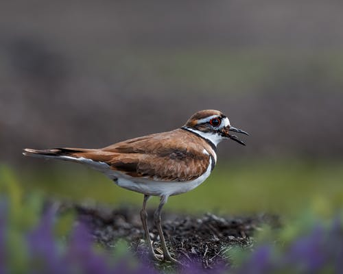 Adorable killdeer plover standing on ground in forest