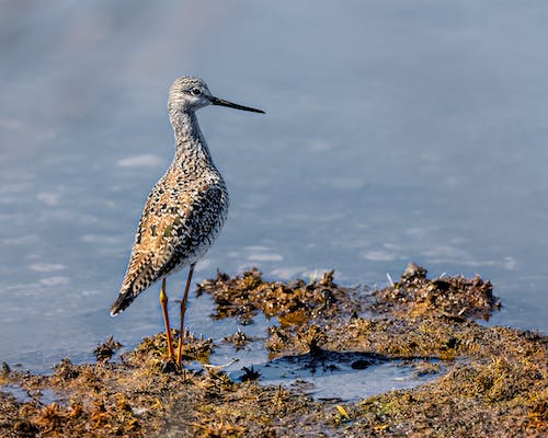 Full body curious brown godwit bird with long neck standing on tranquil lake coast in peaceful nature
