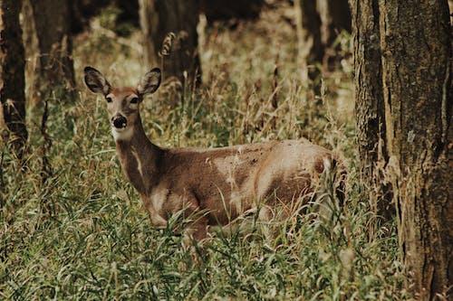 Brown Deer in Autumn Forest