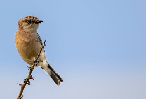 From below of small Saxicola caprata sitting on thin branch of tree against blue sky in daylight