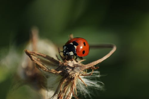 Close-Up Shot of Red Ladybug Perched on Brown Plant