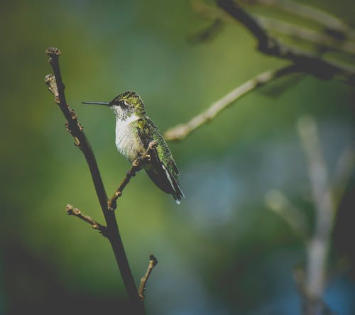 Ilmainen kuvapankkikuva tunnisteilla eläin, hyönteinen, kolibri, laululintu