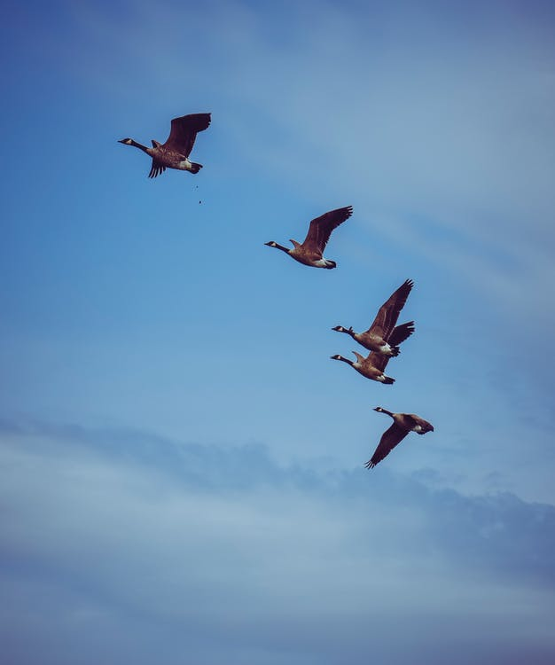 Flock of migrating geese flying in blue sky