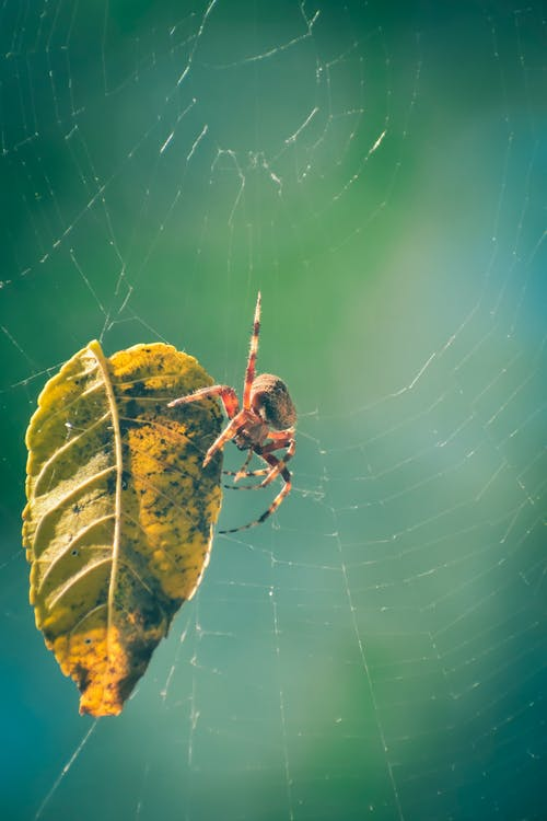 Ilmainen kuvapankkikuva tunnisteilla eläin, hämähäkinseitti, hämähäkinverkko, hämähäkki