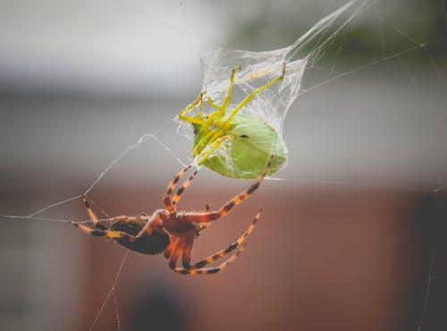 Ilmainen kuvapankkikuva tunnisteilla ansa, eläin, fobia, hämähäkinseitti