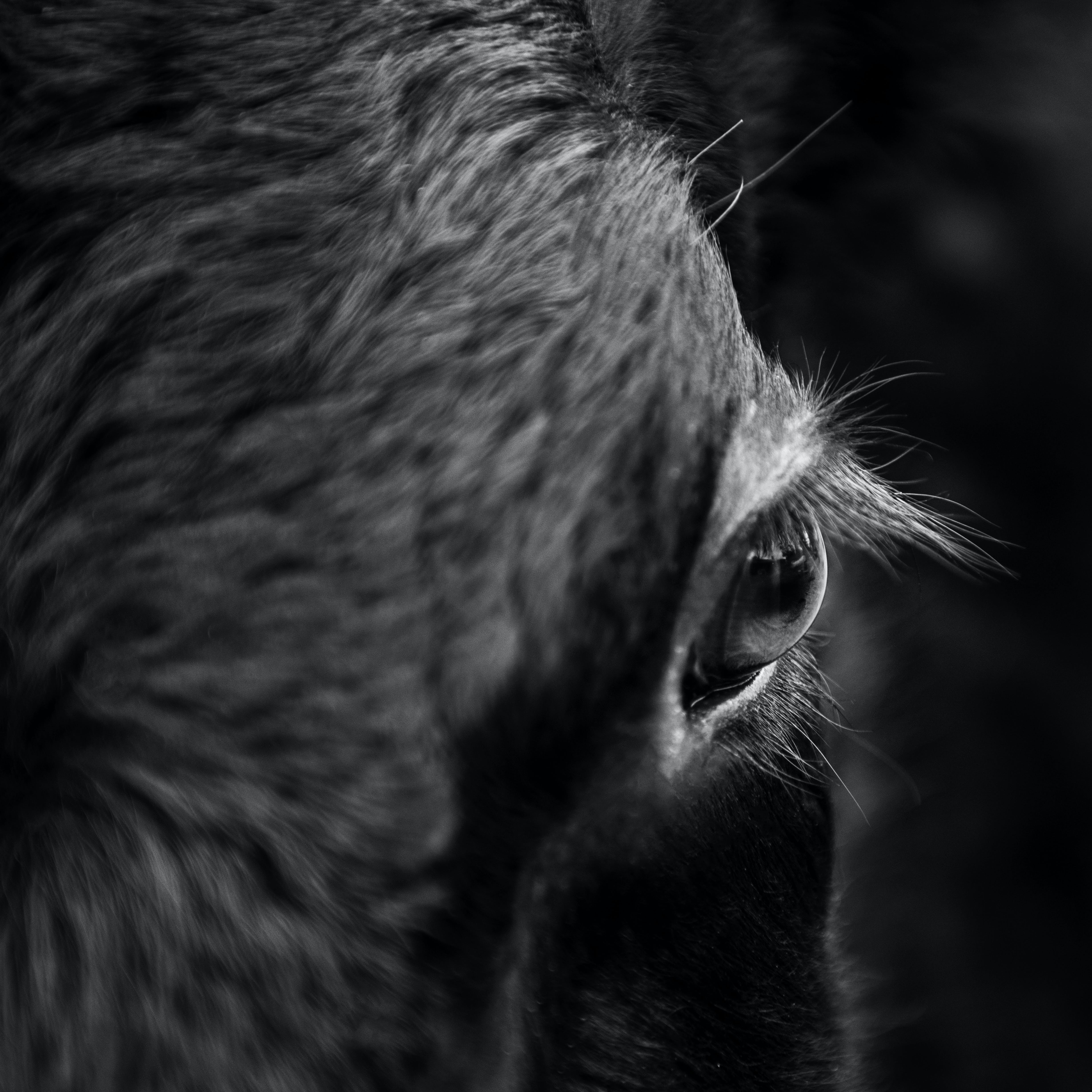 Grayscale Close-up Photography of Horse