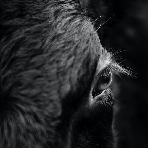 bakmak, büyükbaş hayvanlar, evcil, göz içeren Ücretsiz stok fotoğraf