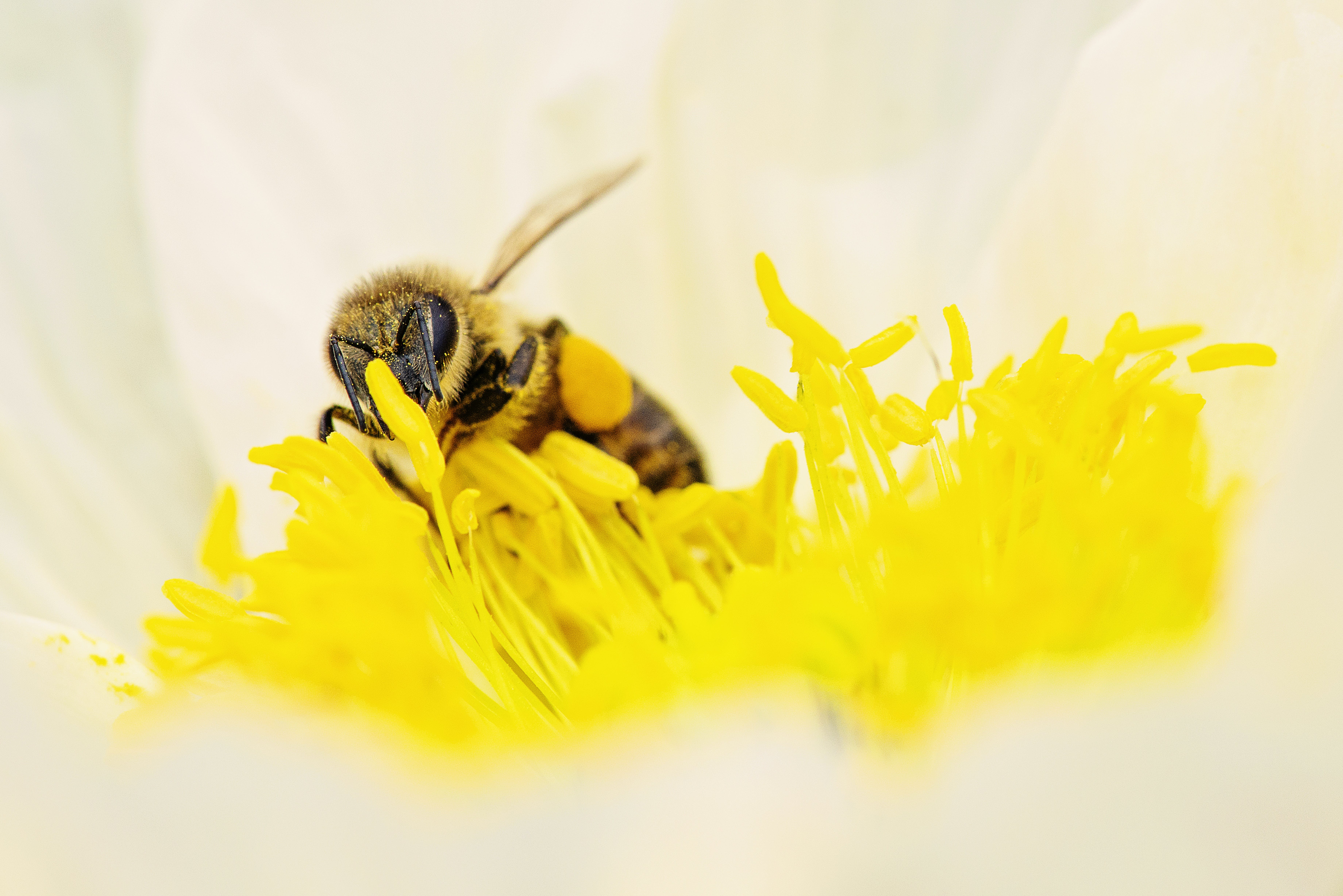 bee, blooming, blossom