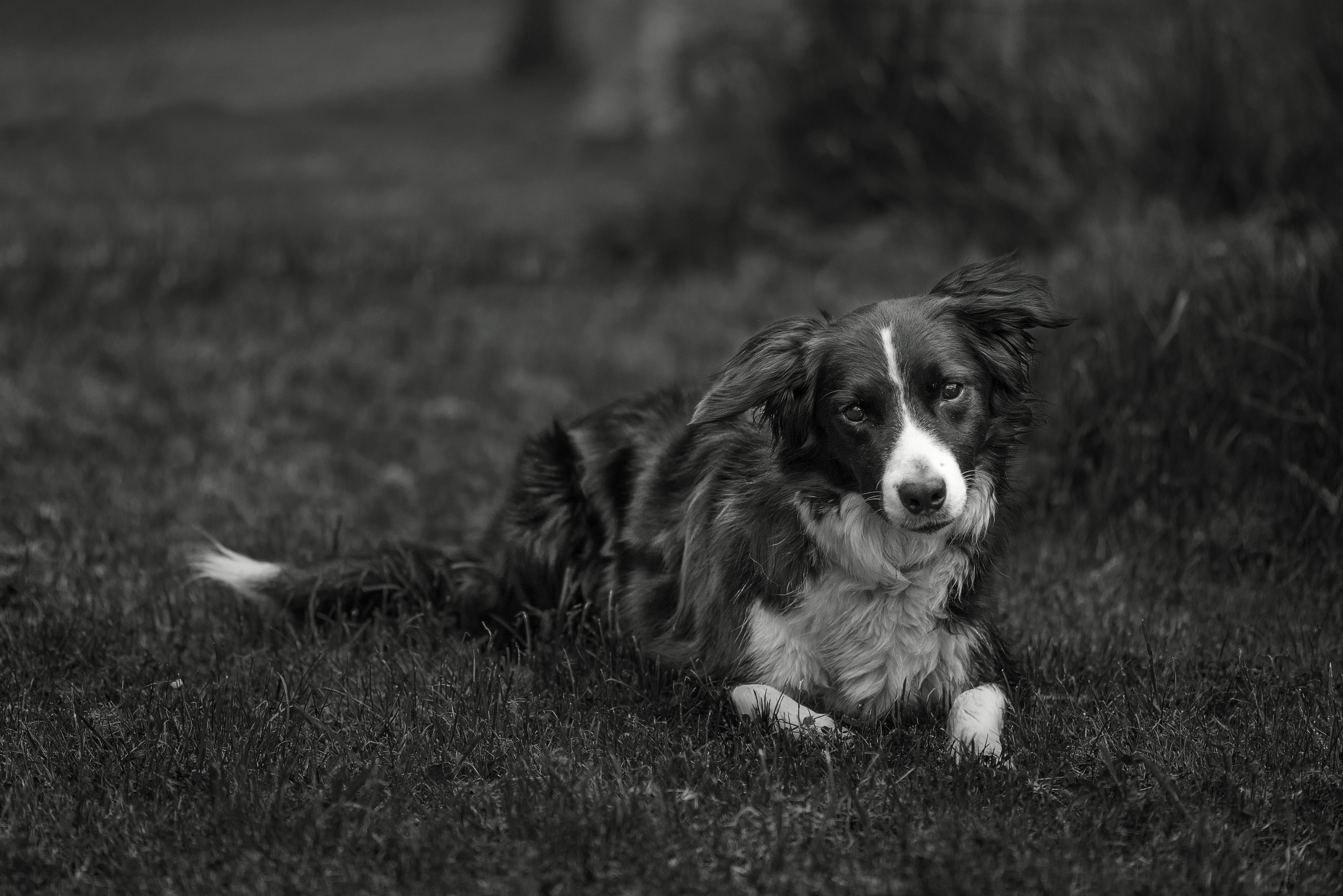 Border Collie Lying on Grass
