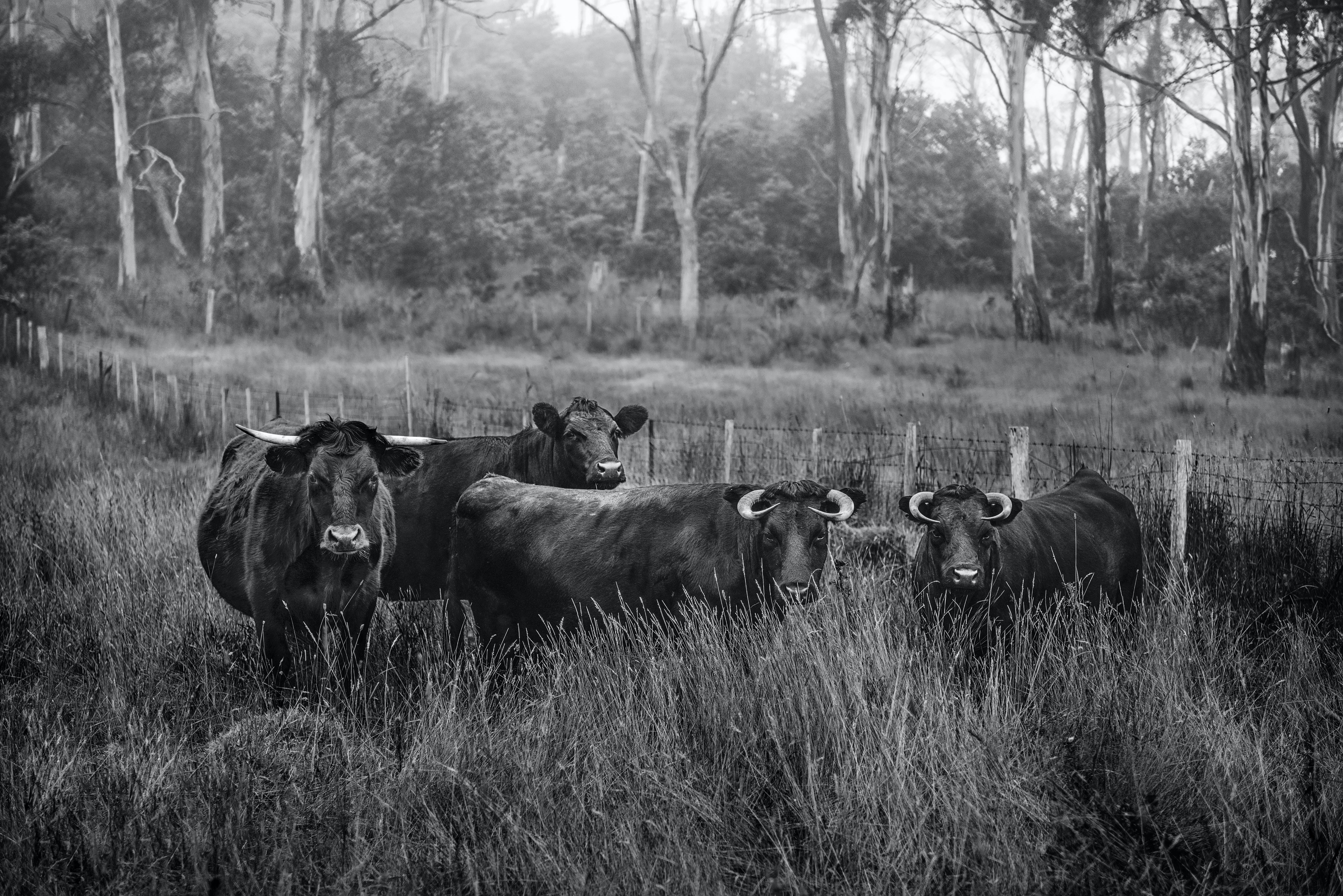 Cows on Grass Field Near Trees