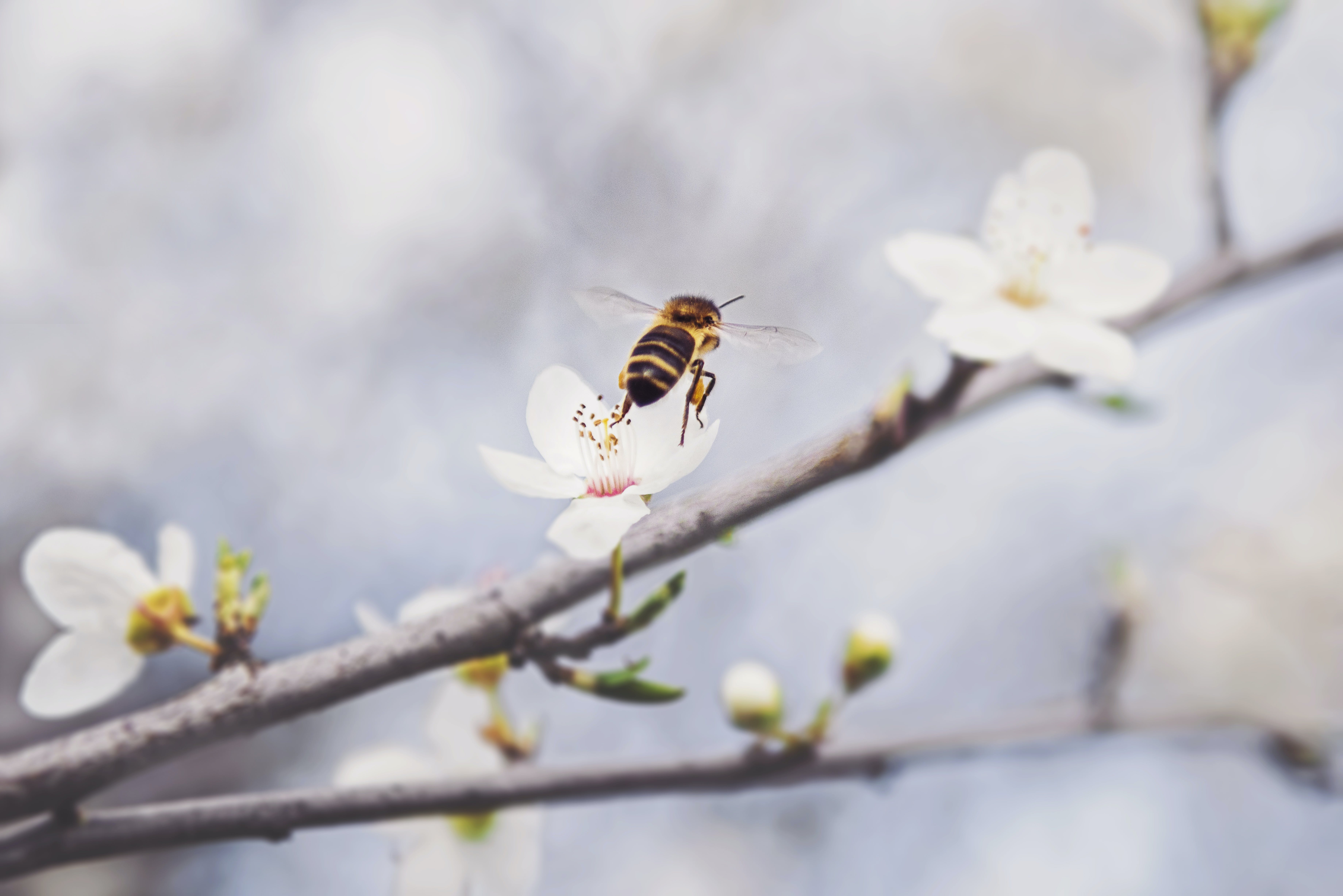 Bee Perched on White Petaled Flower