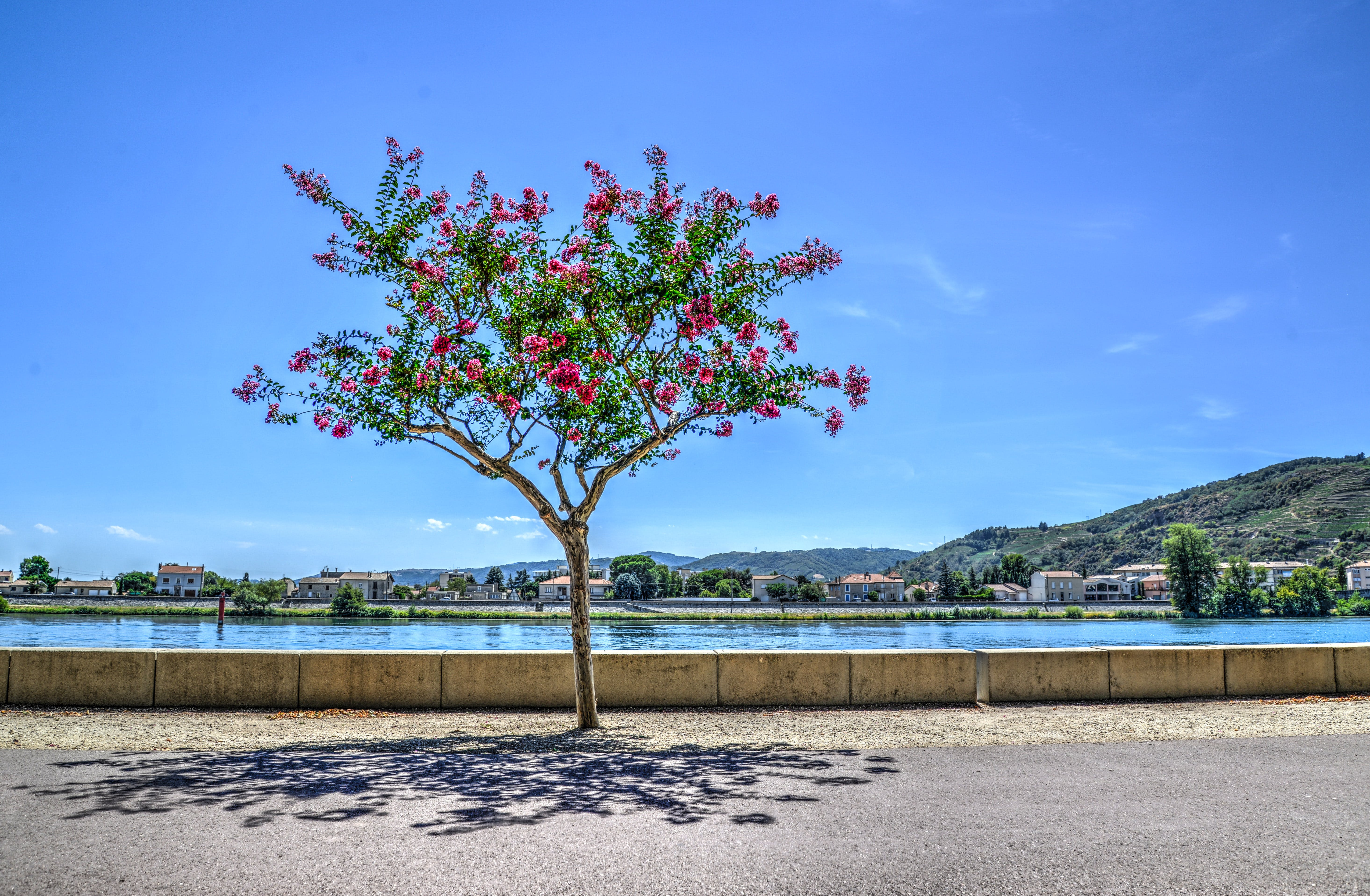 Person Showing Red Flower Tree