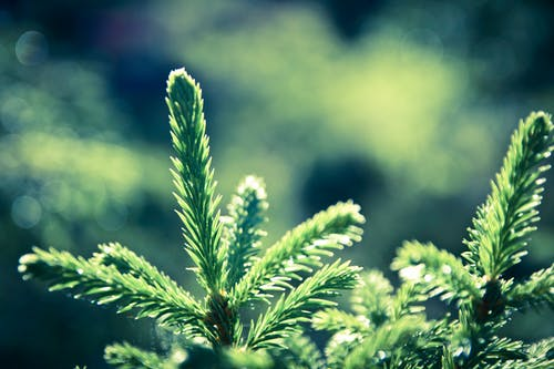 Free stock photo of branch, nature, spruce