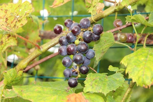 Imagine de stoc gratuită din albastru, coacere, dulce, fructe