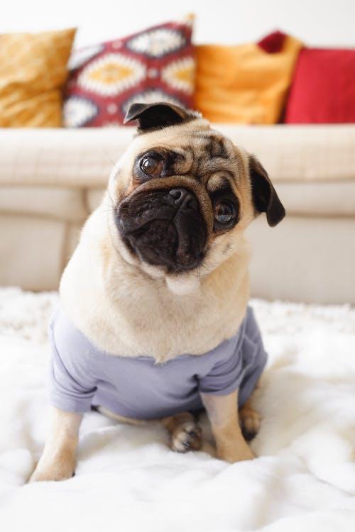 Fawn Pug on White Textile