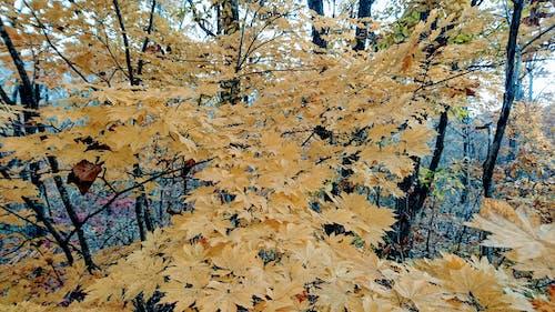 Imagine de stoc gratuită din arțar, codru, frunze galbene, galben