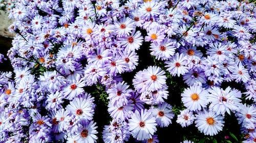Imagine de stoc gratuită din aster, botanică, floră, flori