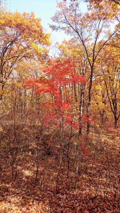 Imagine de stoc gratuită din anotimp, arbori, arțar, centrale