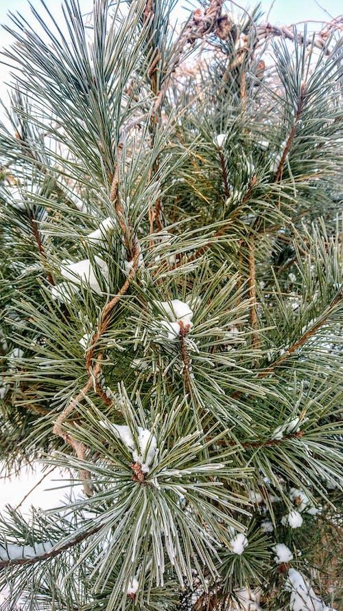 Imagine de stoc gratuită din iarnă, lemn, natură, pin