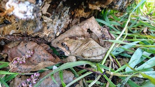 Imagine de stoc gratuită din amfibian, animal, broască, brun
