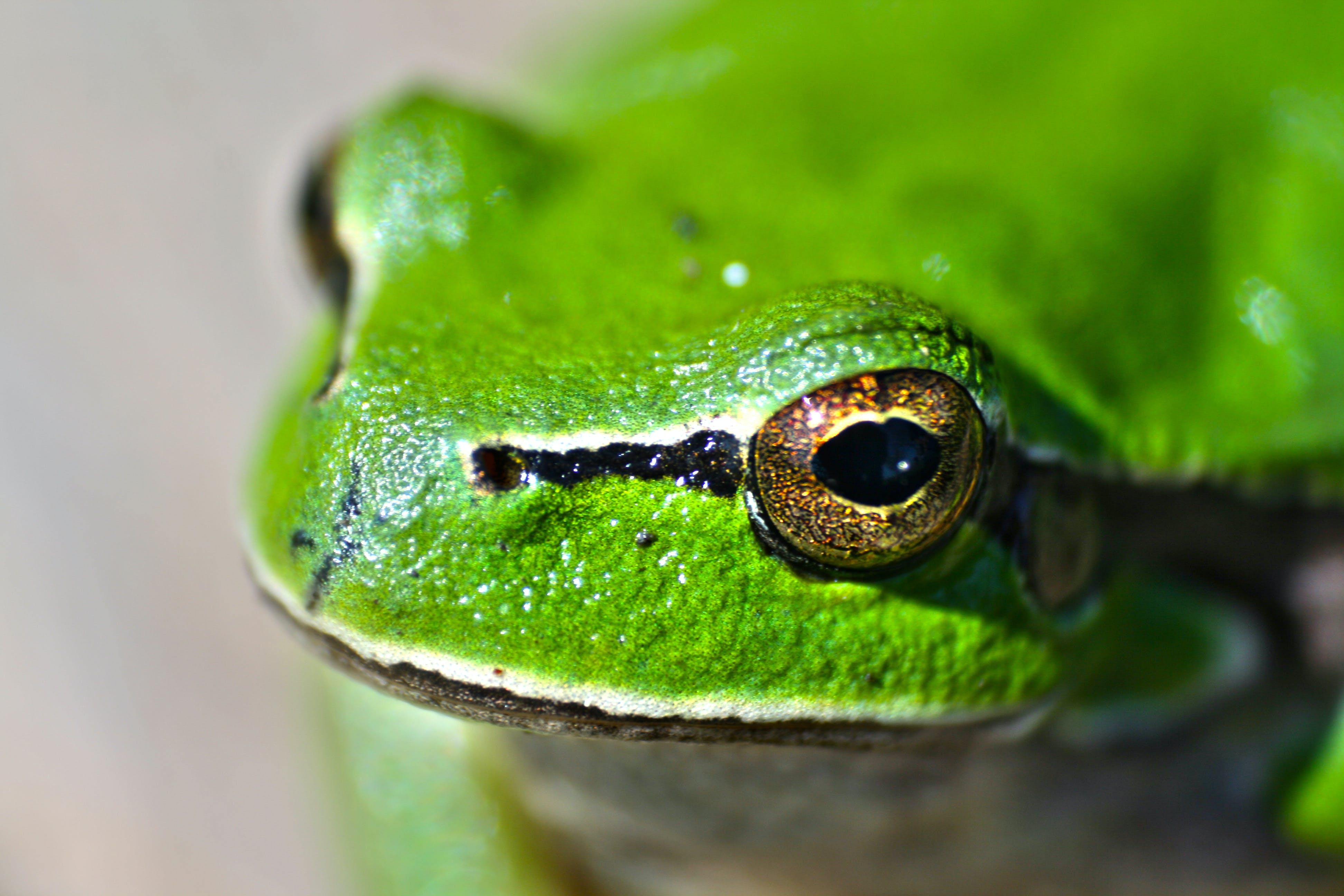 Kostenloses Stock Foto zu augen, biologie, frosch, grün