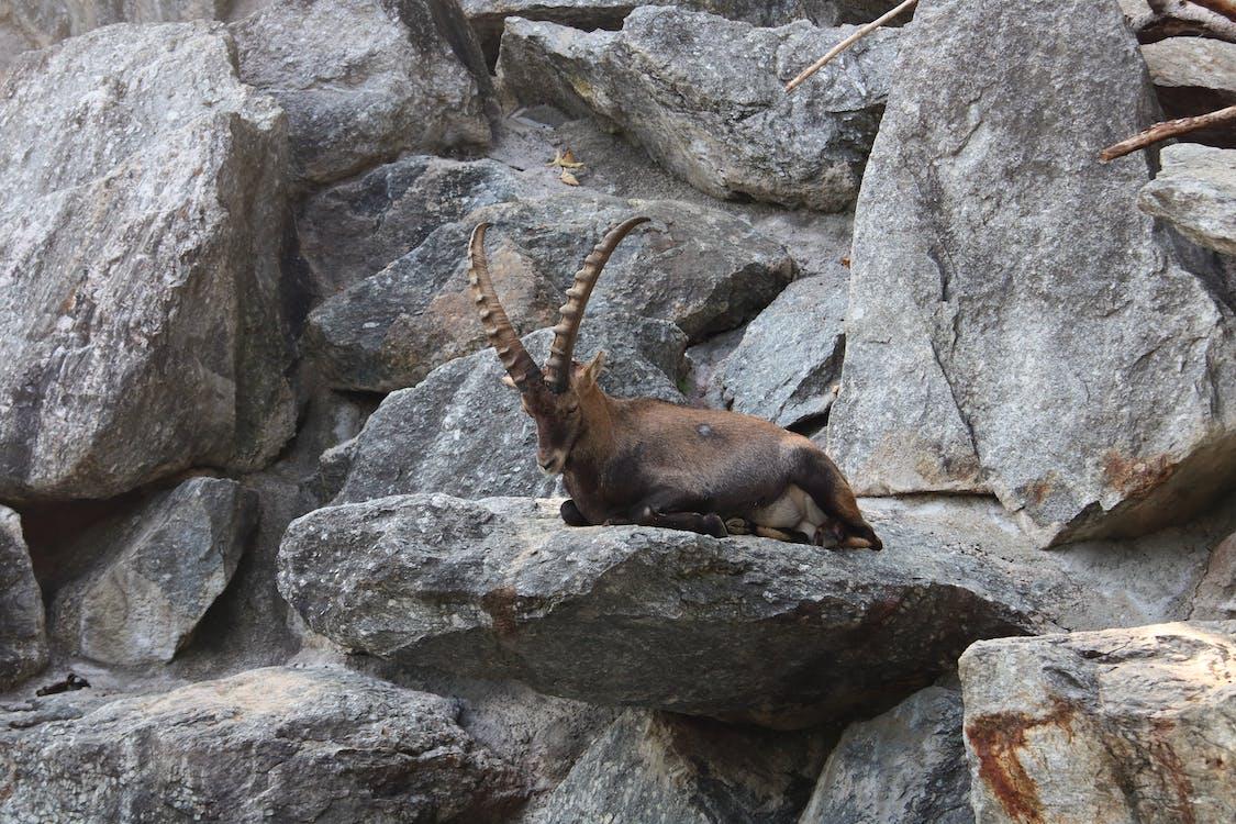 Brown Ram on Gray Rock