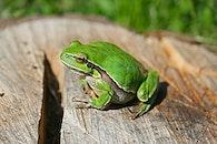 tier, frosch