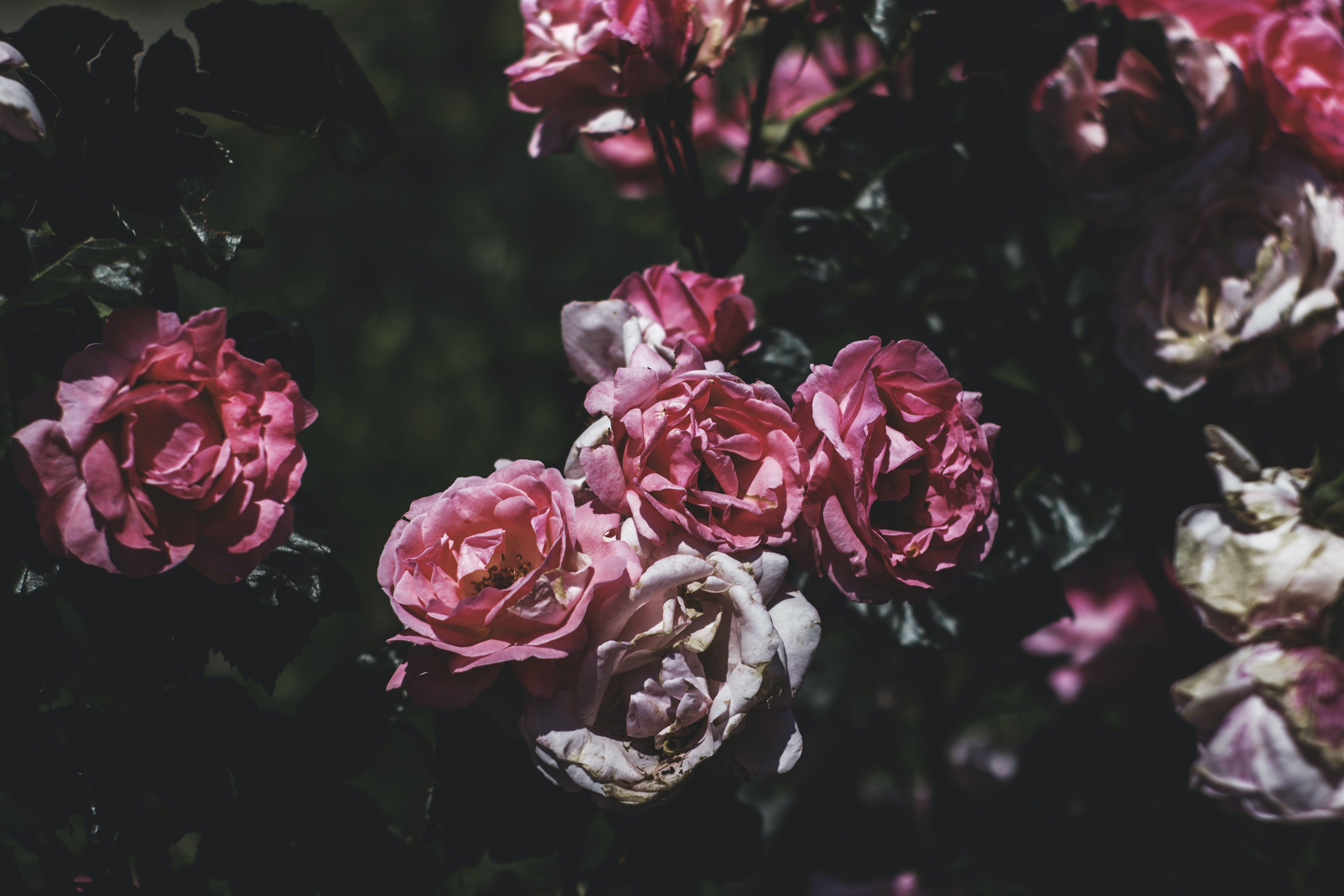 Pink Petaled Flowering Plant