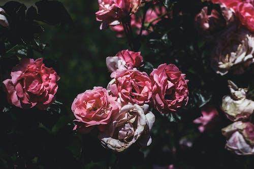 Kostnadsfri bild av blommor, blomning, bukett, dagsljus