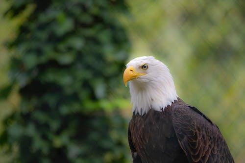A Close-Up Shot of a Bald Eagle