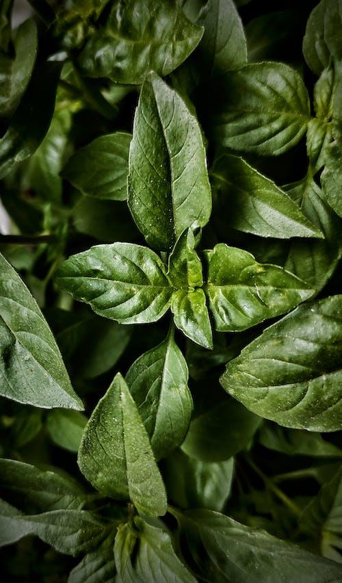Foto stok gratis aromatik, bahan, daun