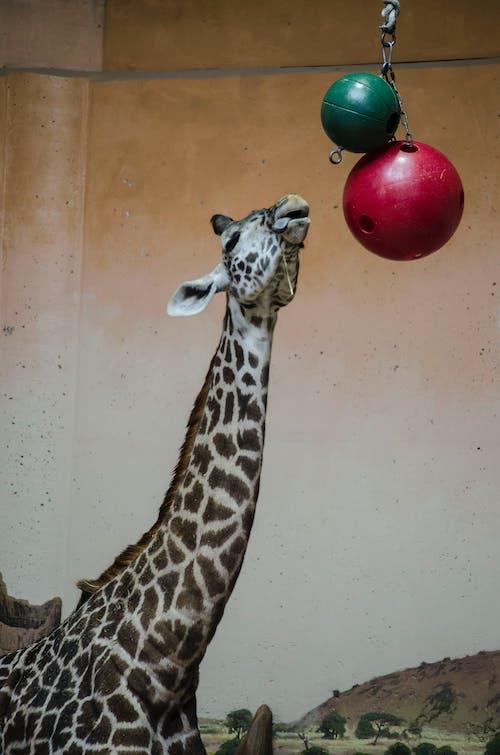 Free stock photo of animal photography, giraffe, giraffe photography