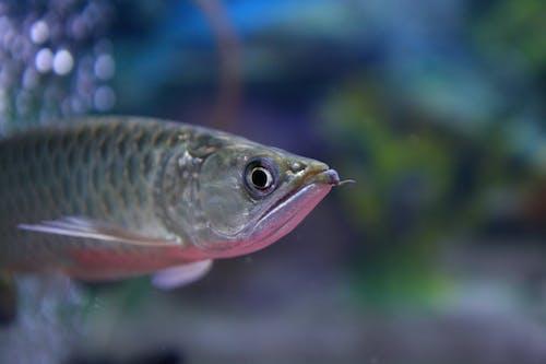 Fotos de stock gratuitas de acuario, animal, arowana